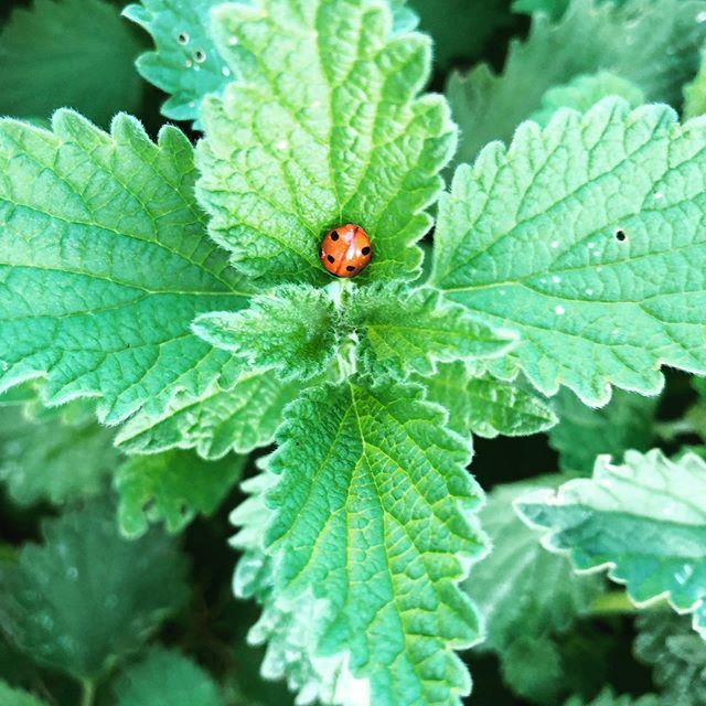 Another early morning at the #allotment was itching to be there after a day off yesterday. On one plot planted #springonion #lastchancesaloon also saw this #ladybird which I am pretty sure is a #coccinellaseptempunctata sitting on some #catnip on the site. On another plot I planted my second raised bed. It was a new experience for me because I usually grow from seed but I am running late for that so got established seedlings of #cabbage #beetroot #lambslettuce #springonion and #basil resulting in both compliments and generosity from a fellow #allotmenteer who gave me some #netting as bird protection. Noticed that I usually drive to the plots in silence and then sing all the way home. #allotmentlife #urbangardening #urbananthropology #growingjoy