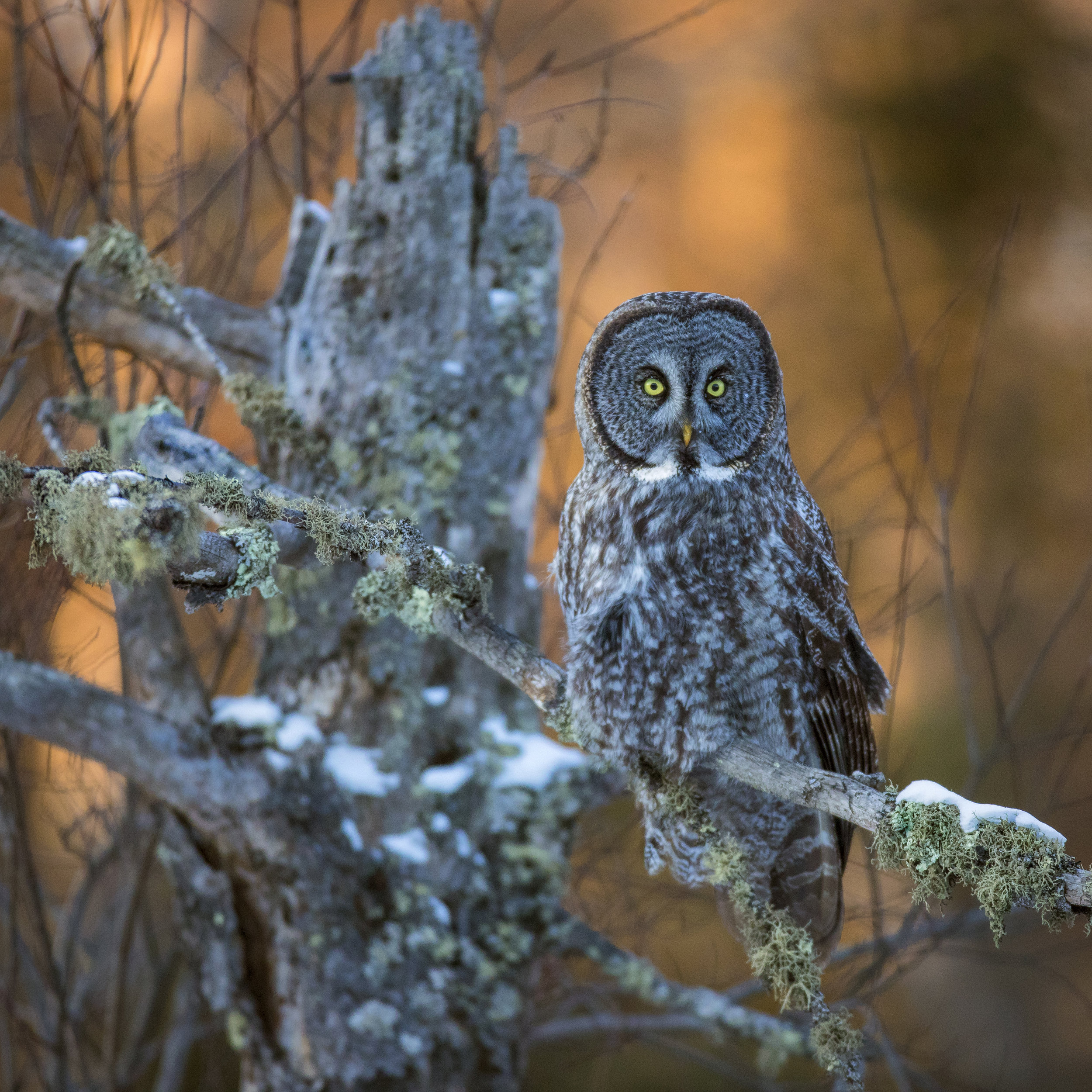 Great Grey Owls - FebruaryTravel to northern Minnesota to photograph the Great Grey Owl. This large Owl is one of the most sought after Owls to photograph in the United States.On this excursion you will get a first hand look at the Great Grey's habitat and how this owl amazingly pin points its prey under the snow. Often other owls can be photographed such as the Northern Hawk Owl, Barred Owl, Arctic Great Horned Owls and Boreal Owls on this trip.