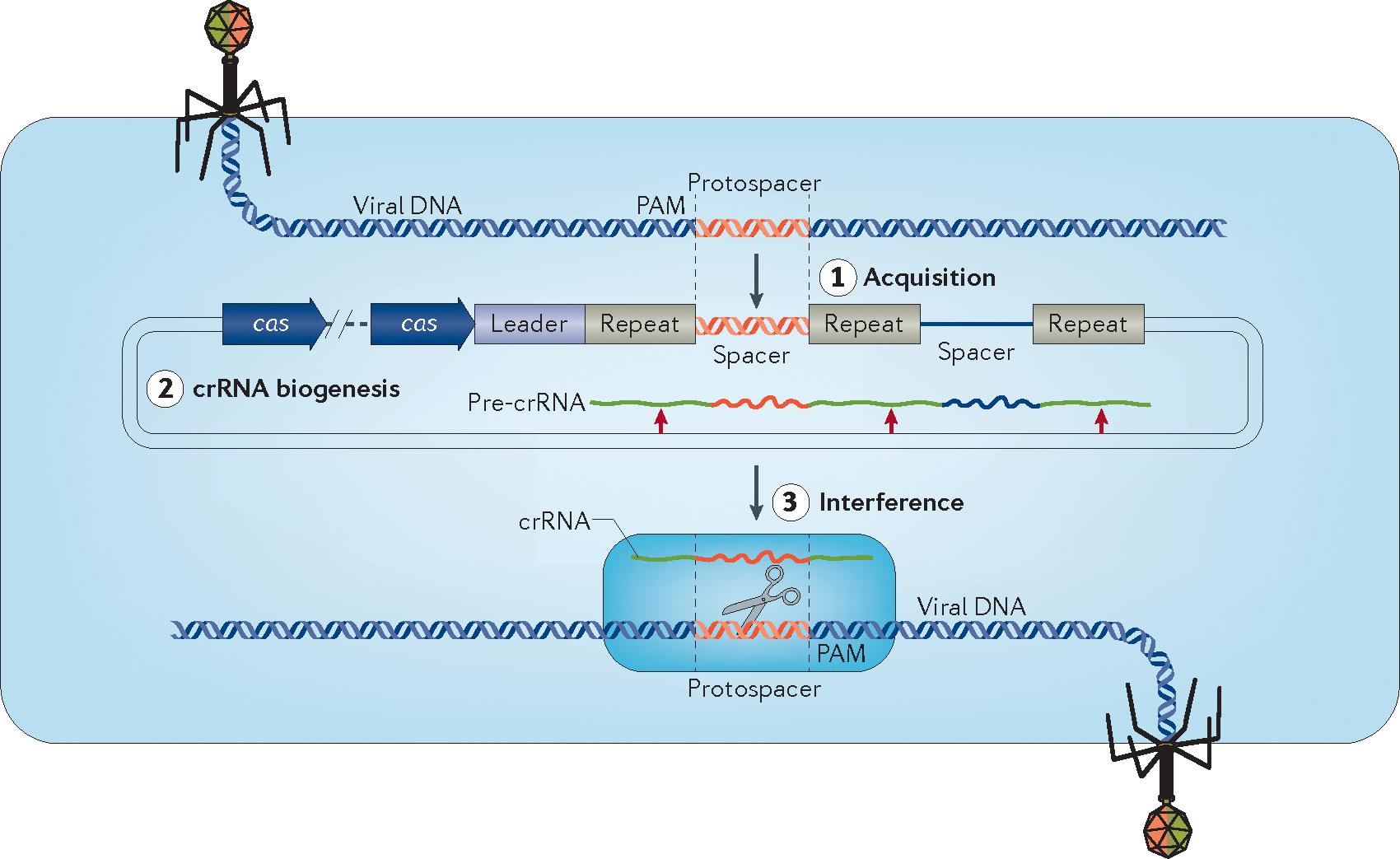 [Gibson GJ, Yang M. What Rheumatologists Need To Know About CRISPR/Cas9. Nat Rev Rheumatol. 2017 Apr;13(4):205-216]