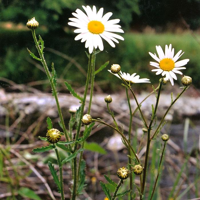organic weed control - ox eye daisy