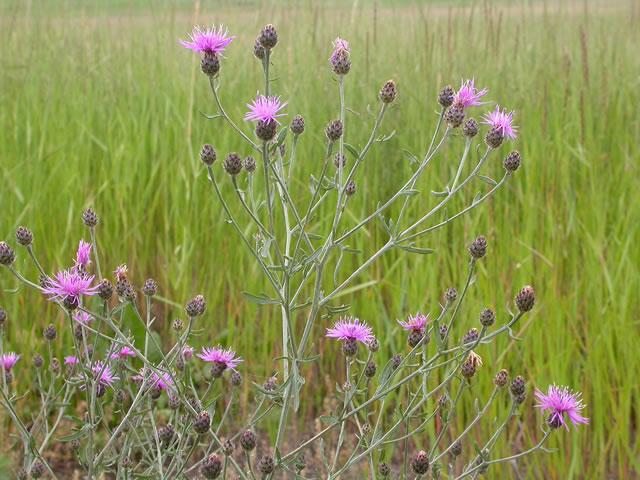 organic weed control - knapweed