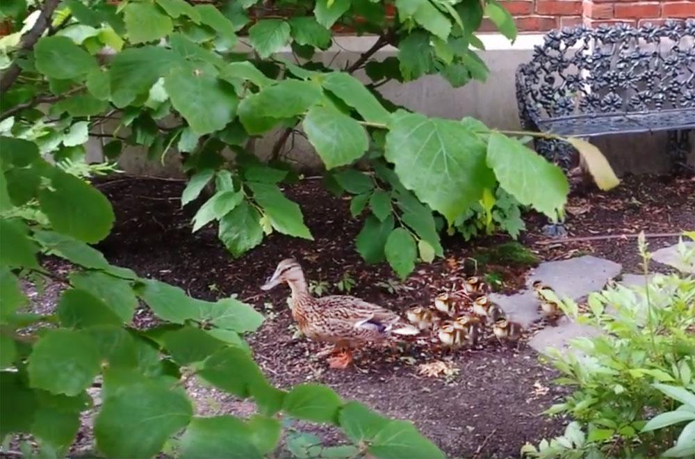 When ducklings visit...
