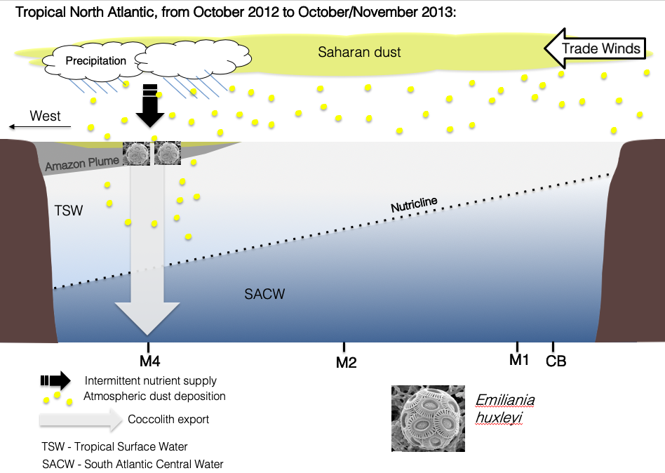 Schematic representation of what we interpret as biological response of  Emiliania huxleyi  to Saharan dust wet deposition in the western tropical Atlantic, during the fall of 2013 (Guerreiro et al., 2017).