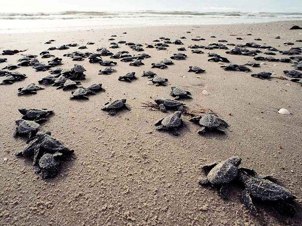 ridley-sea-turtle_bill-curtsinger.jpg