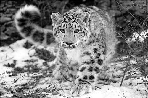 snow-leopard.jpg