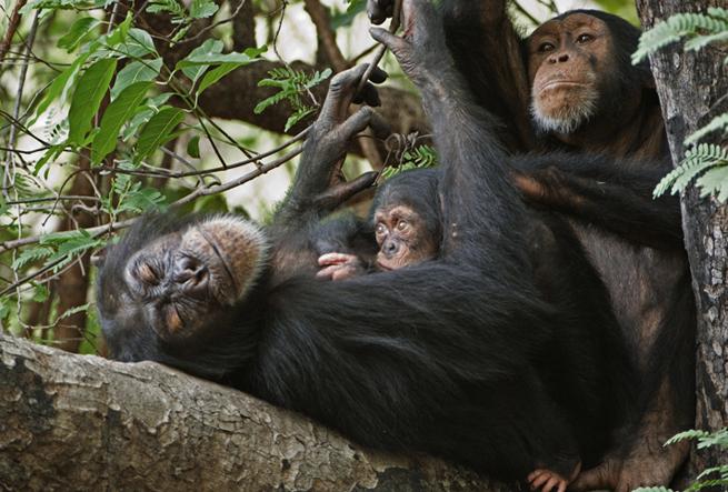 3-chimpanzee-sleep-baby-655.jpg