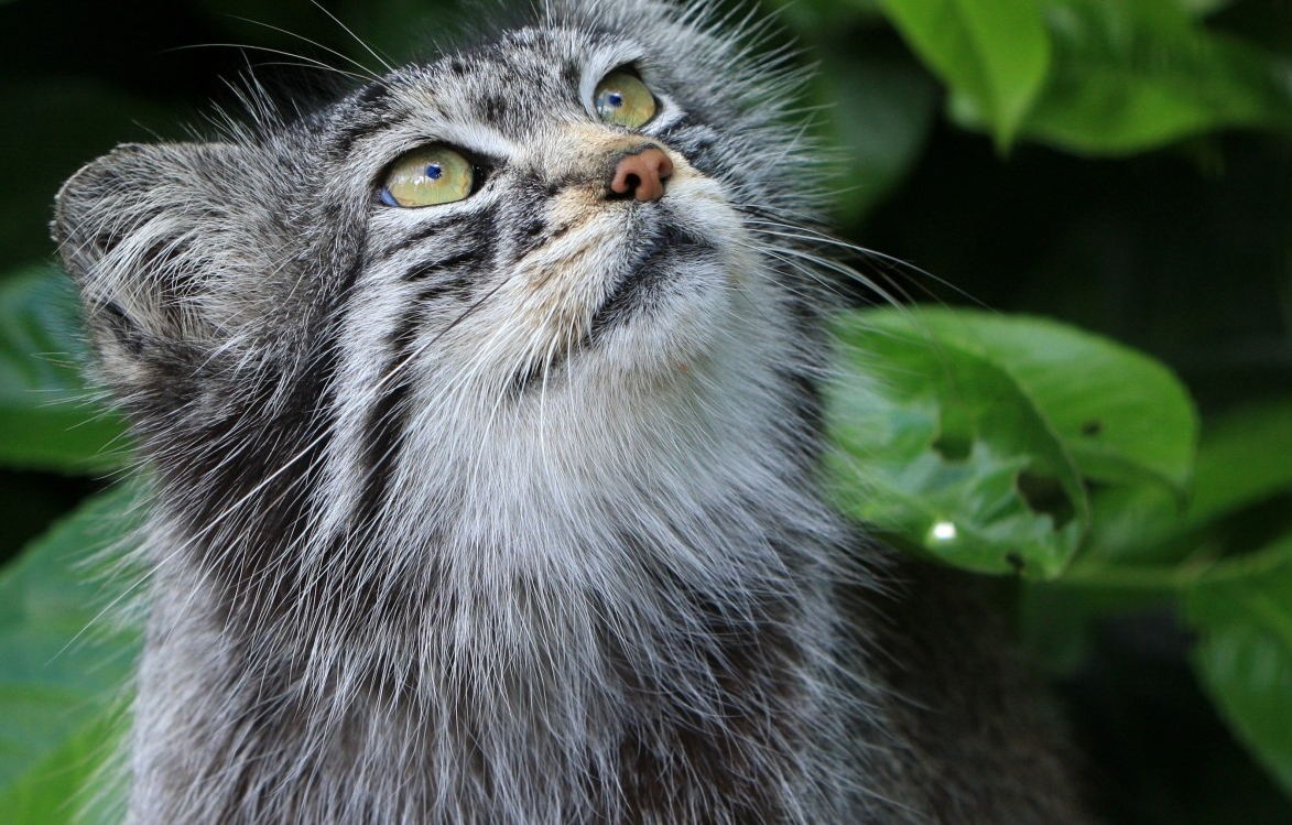 pallas_cat_no license needed.jpg