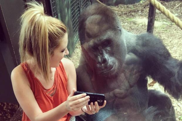 Selfie loving gorilla at Louisville Zoo (Photo from Instagram via @lindseymcostello)