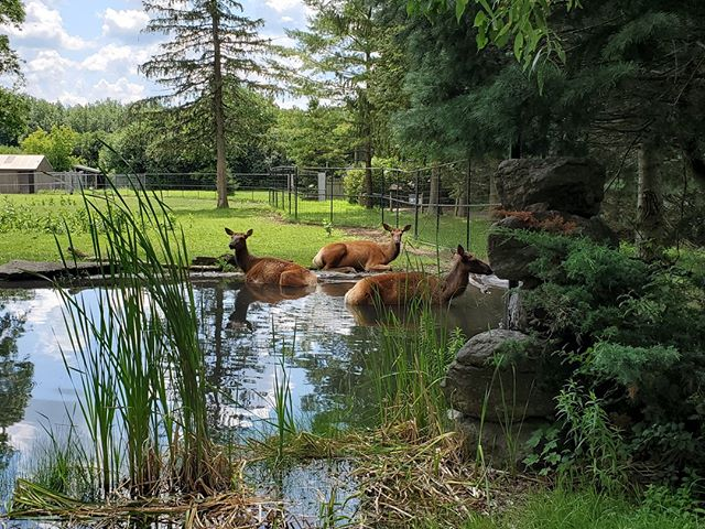 Elk girls enjoying the water right at the main viewing area at New York State Zoo! Huge and simple exhibit, but set up just right. ⠀ ⠀ #smallandmighty #zootripping #zoodesign #nyzoo #zoo #elk #nativespecies #onlynatives #nativezoo ⠀ ⠀ @newyorkstatezoo