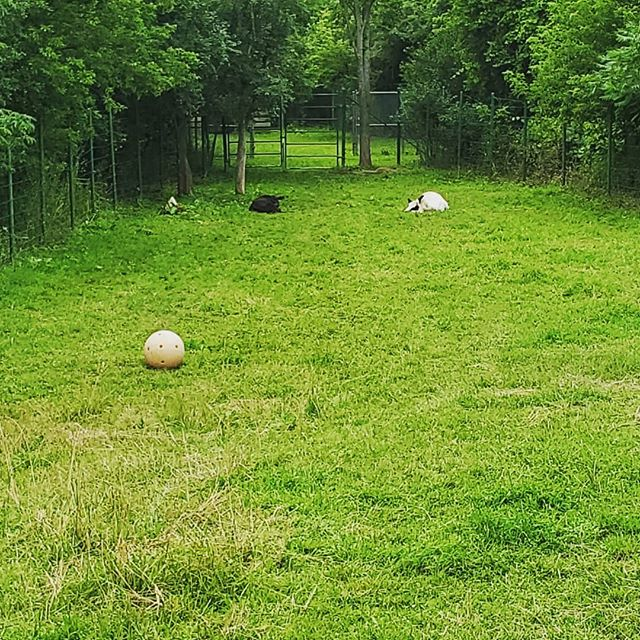 In love with the boomer ball for the cows at the New York State Zoo! Domestics need enrichment, too!⠀ ⠀ #smallandmighty #zootripping #zoodesign #nyzoo #zoo #enrichment #boomerball #cows #domesticanimals ⠀ ⠀ @newyorkstatezoo