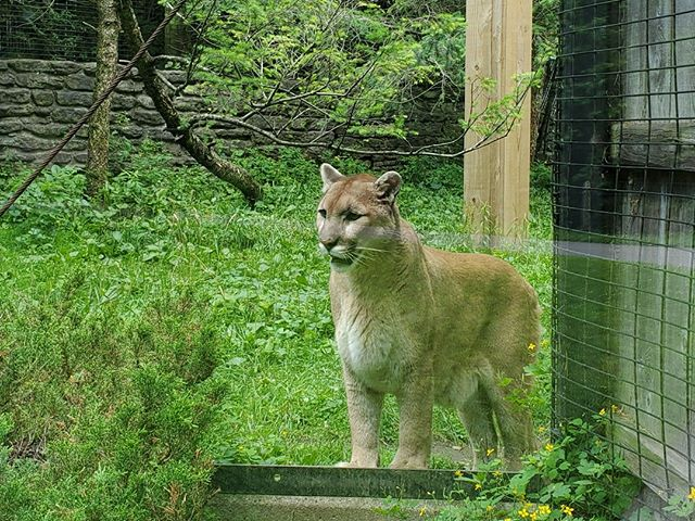 While the New York State Zoo's habitats are naturalistic and large, some of the animals choose to come up near the guest viewing. Seeing a mountain lion this close is a rarity!⠀ ⠀ #smallandmighty #zoodesign #zootripping #nyzoo #ny #zoo #roadtrip #mountainlion #bigcat #catsofinstagram #instacat #animalsofinstagram