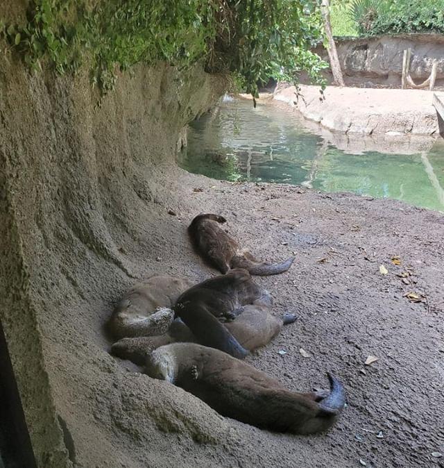 Otter pile!! ⠀ ⠀ #otter #cuteotter #zootripping #roadtrip #ontheroad #louisiana #lams #naro #otterpups #otterpops ⠀ ⠀ @alexandriazoo