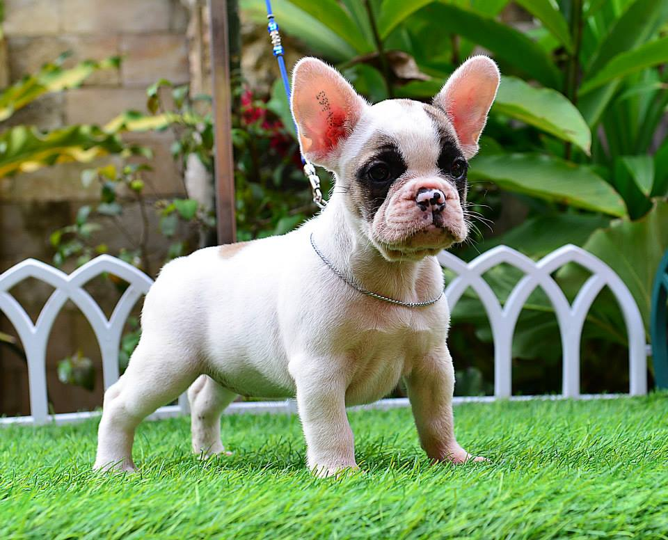 female french bulldog puppy for sale