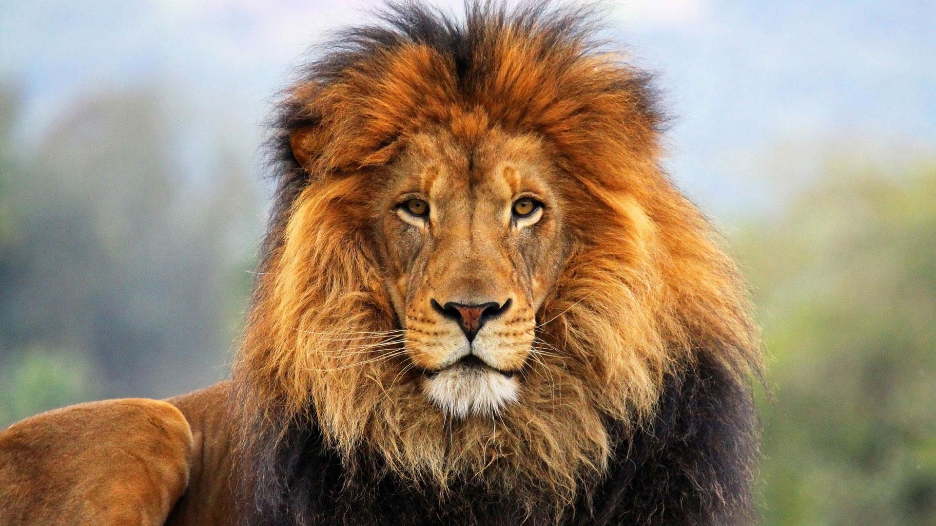 lion-desktop-wallpaper8.jpg