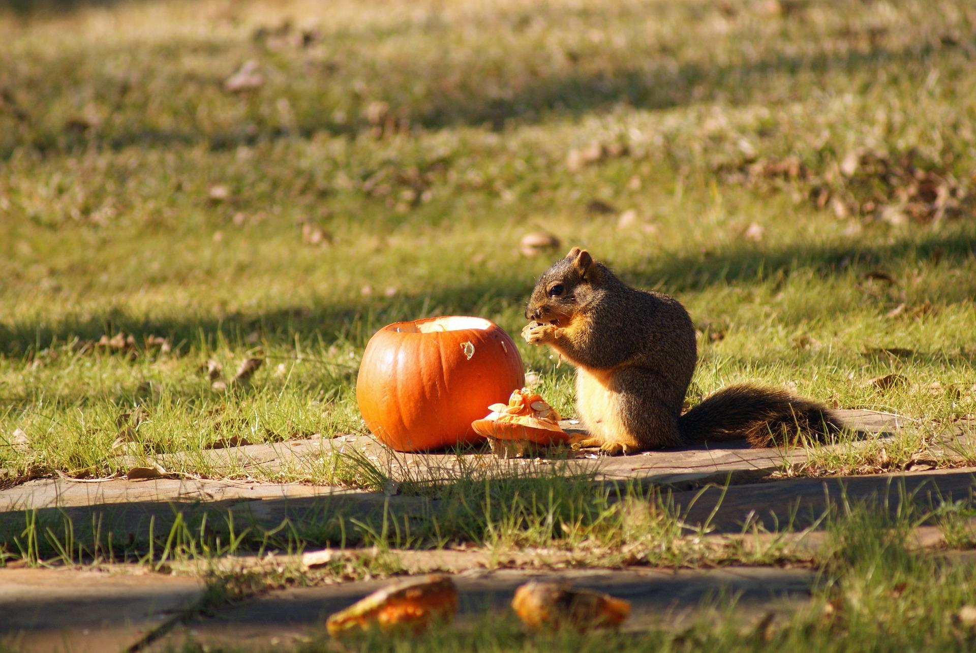 Squirrel eating pumpkin.jpg