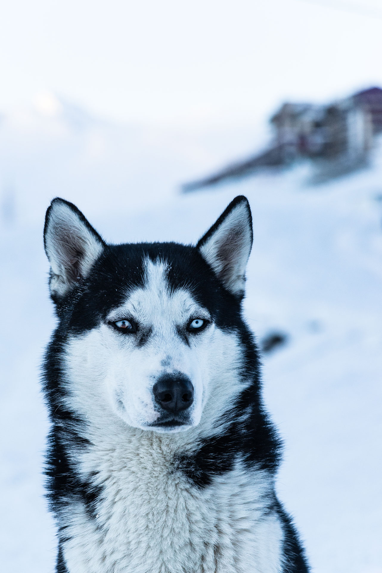 A siberian husky with one injured eye looking at the bypassers.