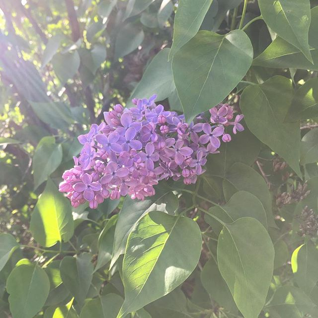 Sunshine filter. Love the smell of Lilacs #lilacs #spring #sunshine #sunshinefilter #smellsamazing #vintageadulting