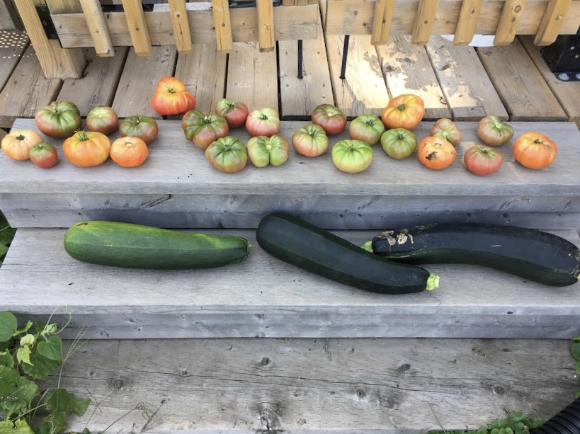 Our harvest of heirloom zucchini and heirloom tomatoes 2018