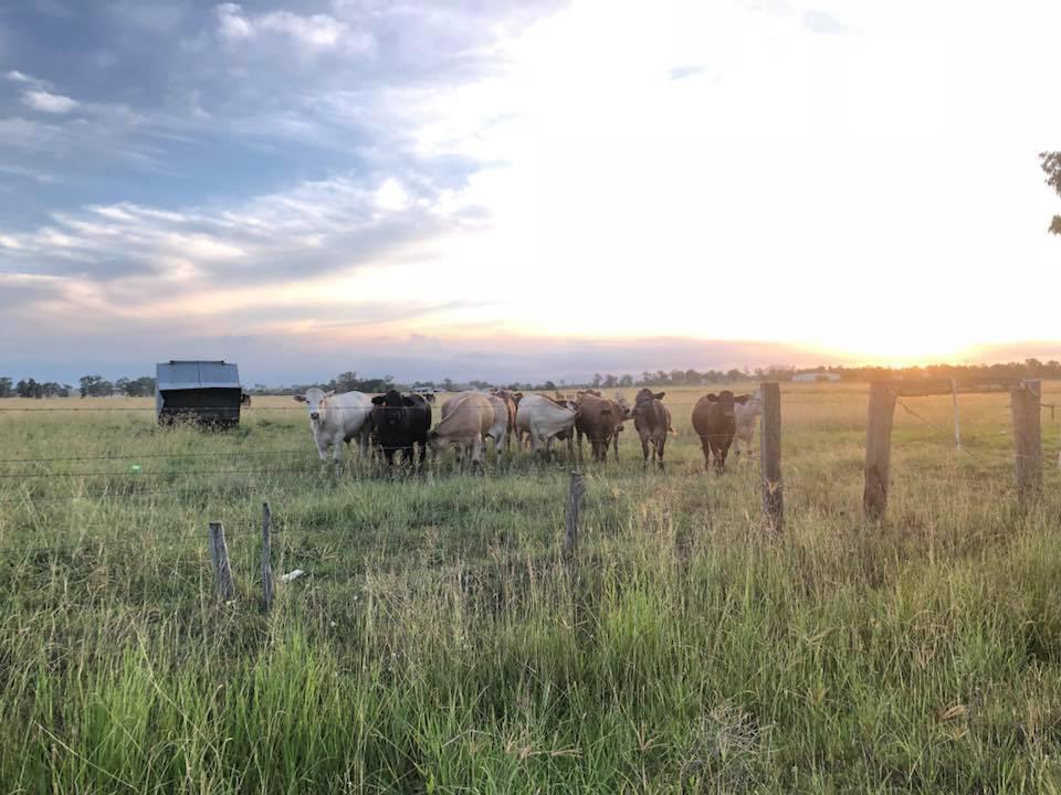 cows sunset.jpg