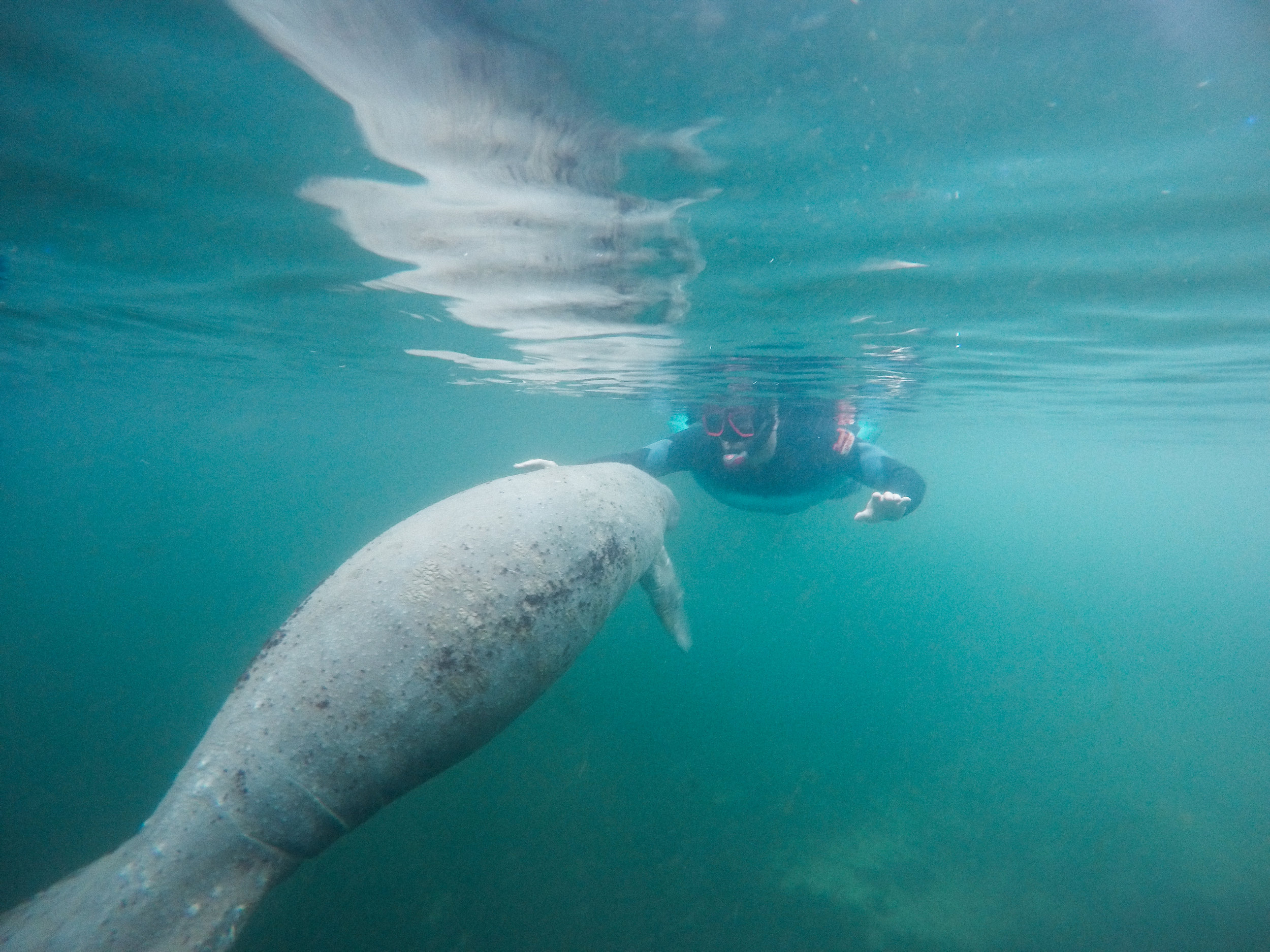 Swimming with Manatees   The Whitefeather Journal