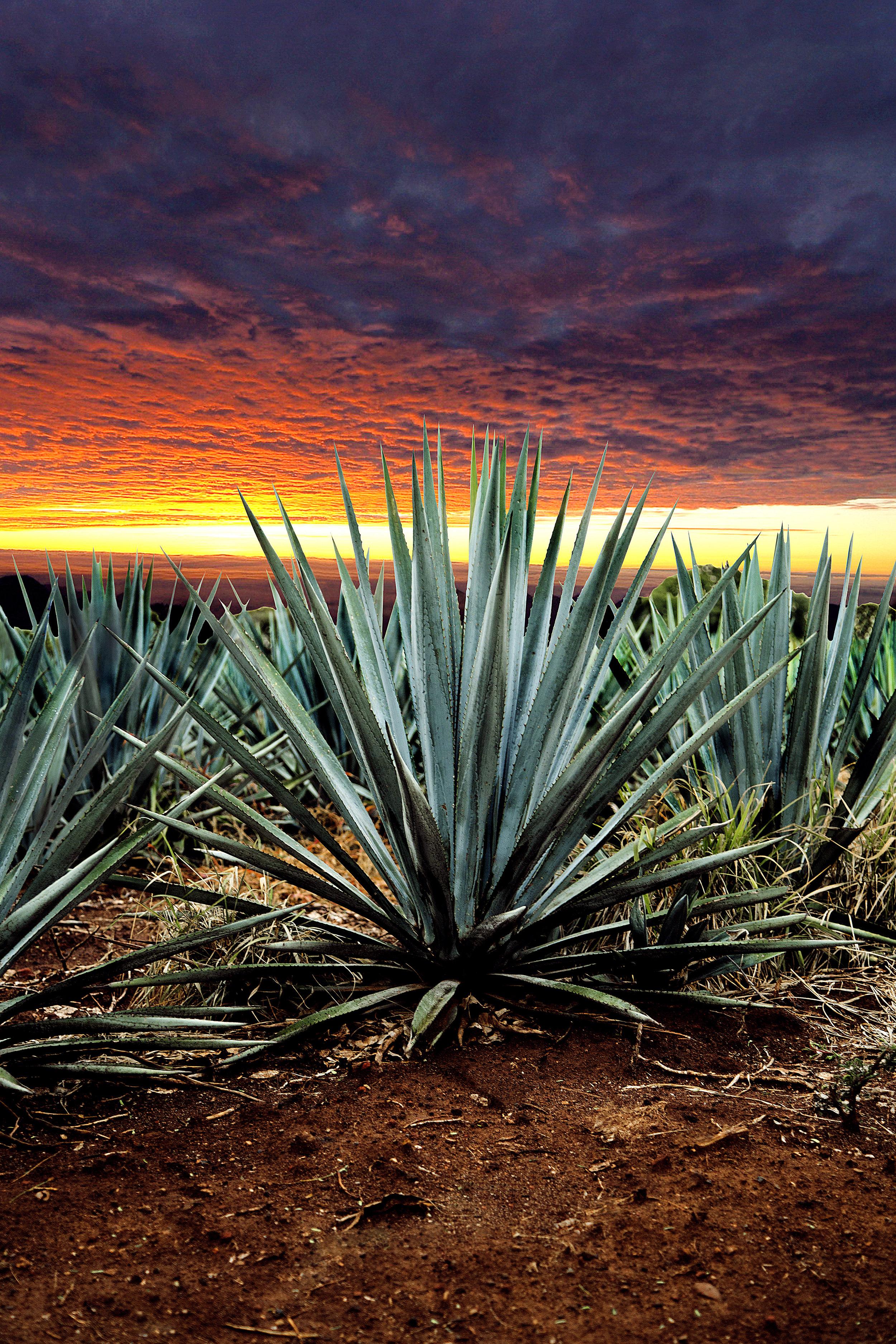 Wonder agave tequila lanscape.jpg