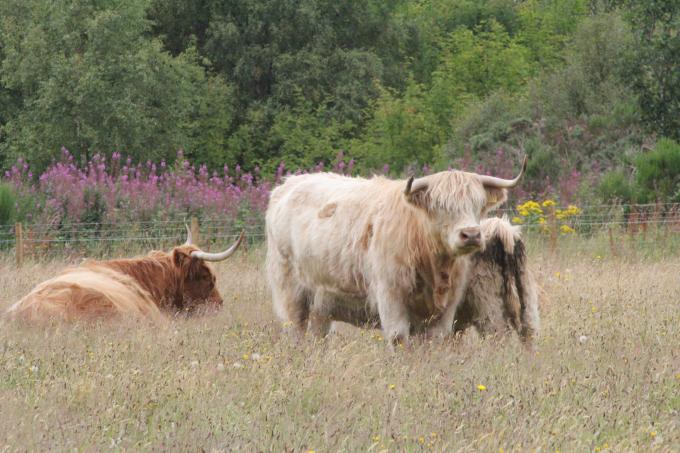 Cattle Near Drover's Inn | Scotland