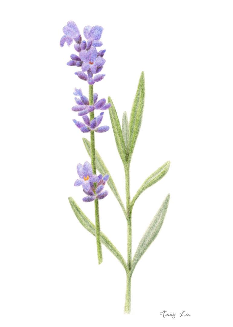 anais-lee_2019-02_lavender.jpg