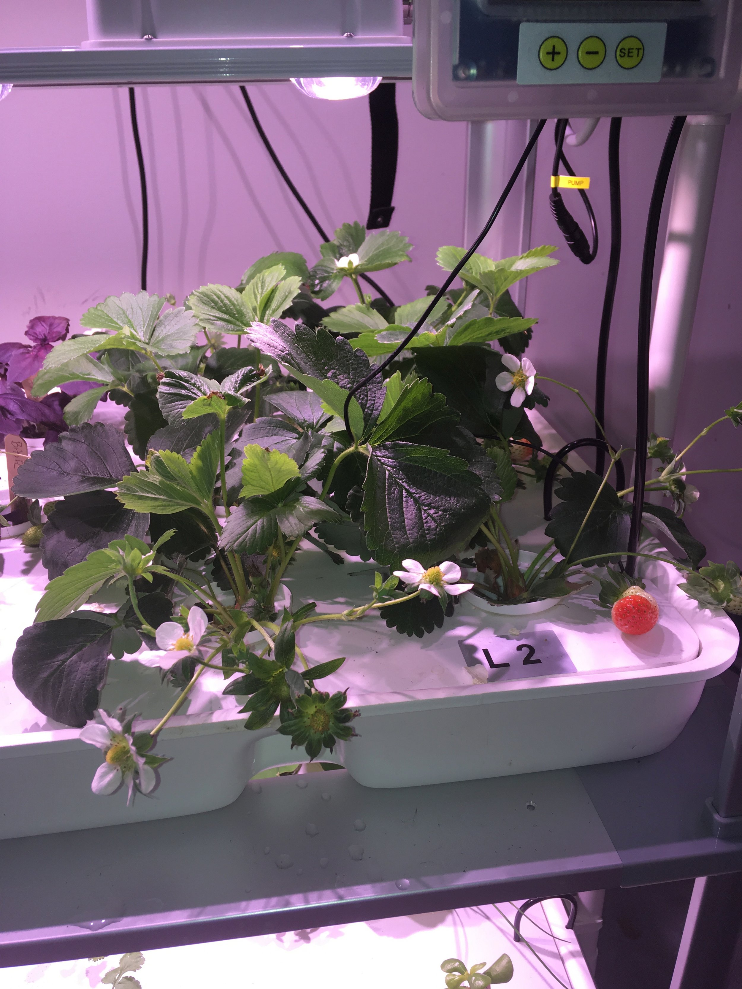 Strawberries are one of the more popular plants to grow on the LF-ONE. You can grow them from seed, from crowns, or from runners from established plants.