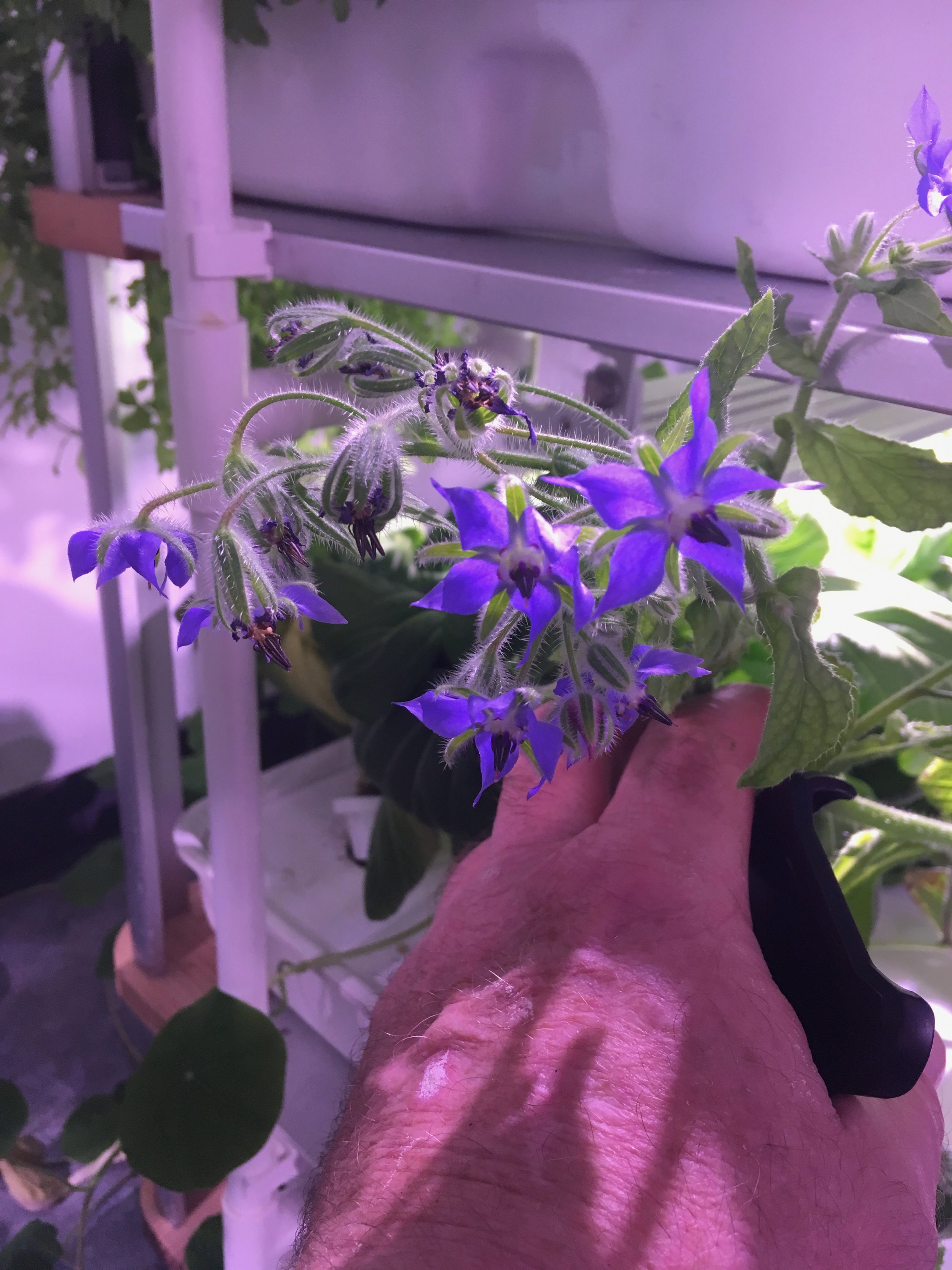 Growing Borage in the LF-ONE.