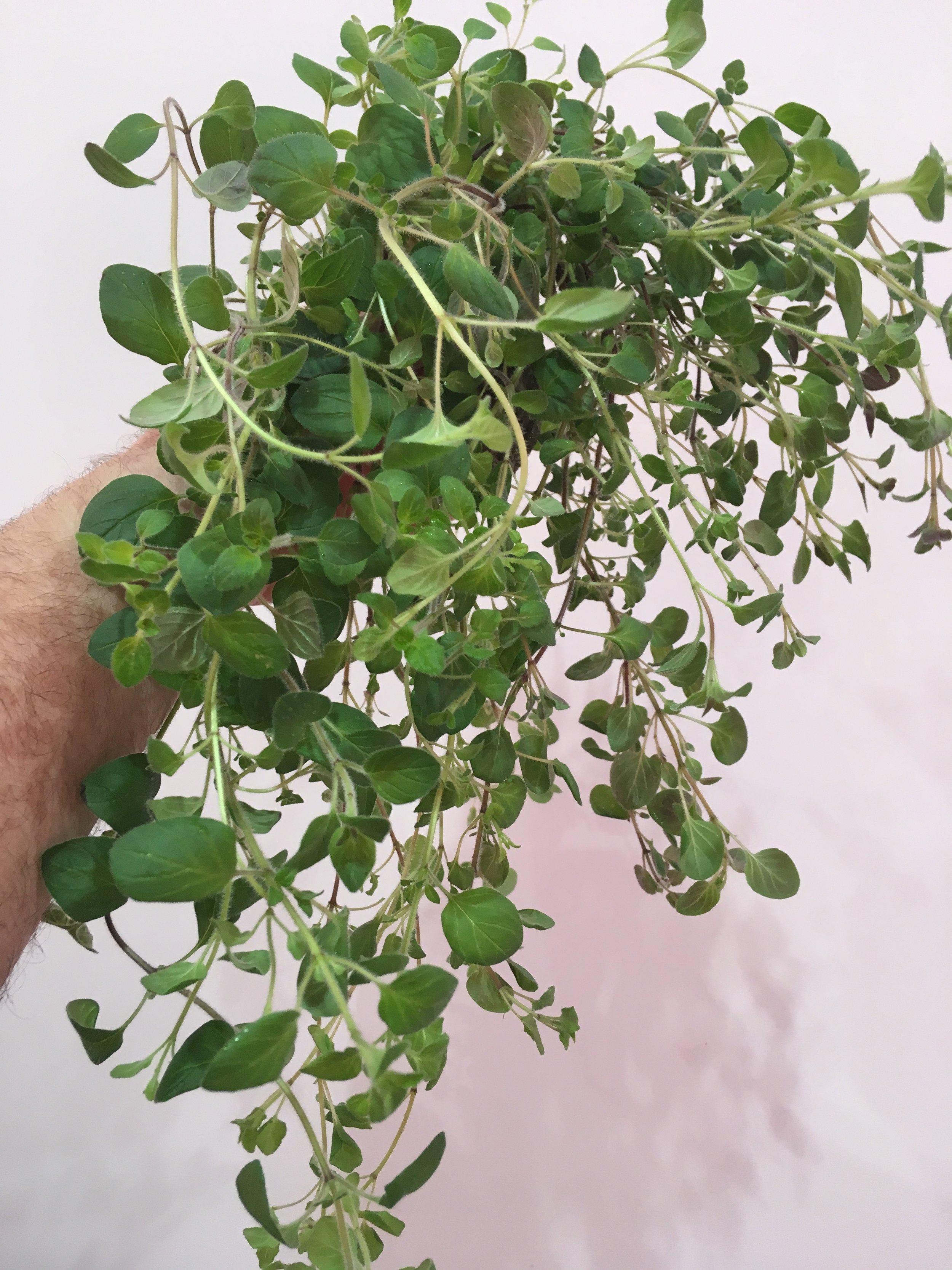 Oregano grown in the LF-ONE