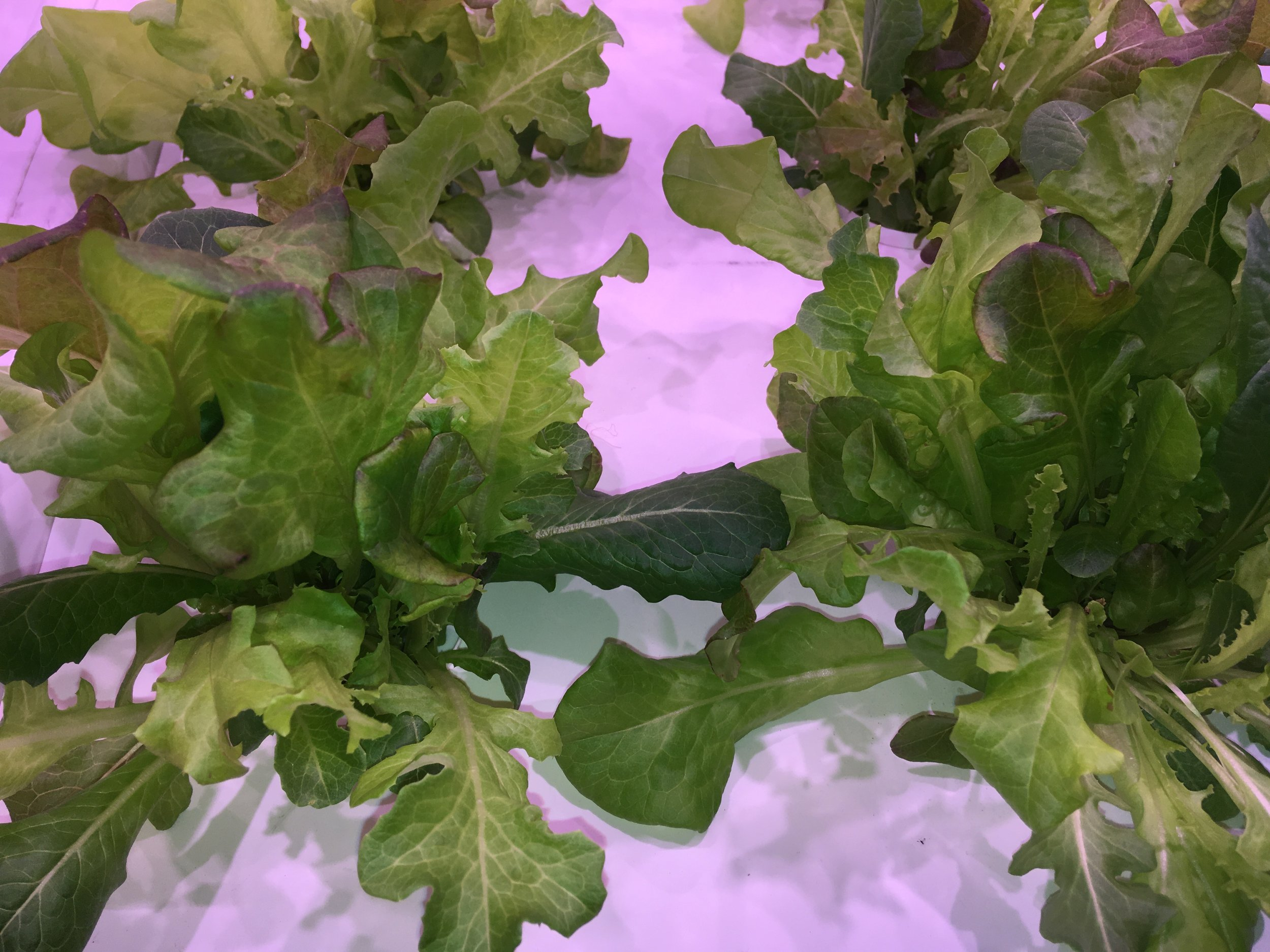 LF-ONE excels at growing leafy greens.