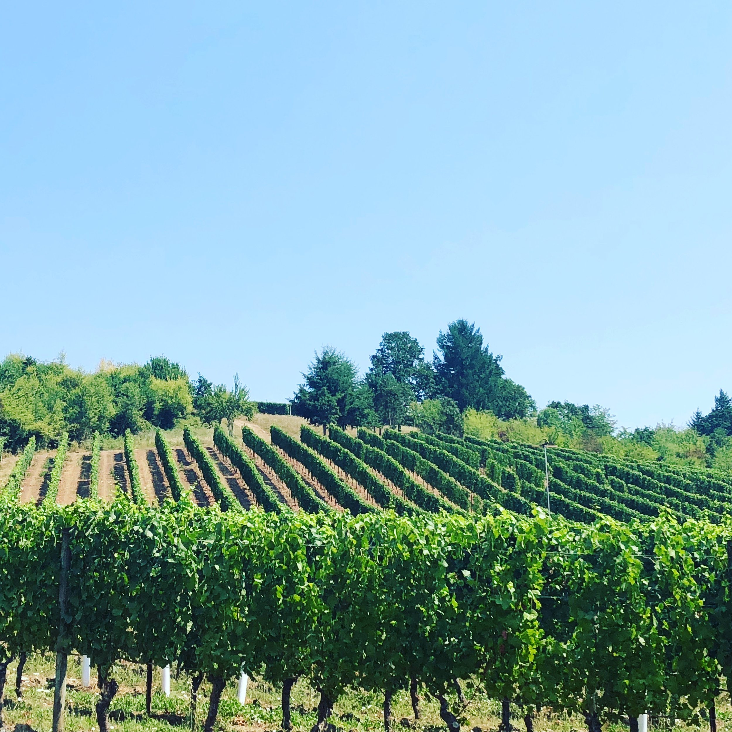 The Vineyards of Patricia Green Cellars - Nothing more relaxing and beautiful than the Oregon wine country with hill sides full of vineyards and Hazelnut trees. Truly a beautiful place to be! So many wonderful wineries to try and one of our favorites not to be missed is Patricia Green.