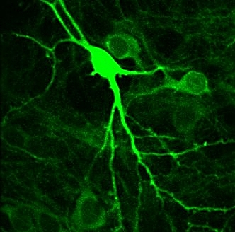 Subcellular resolution imaging in-vivo