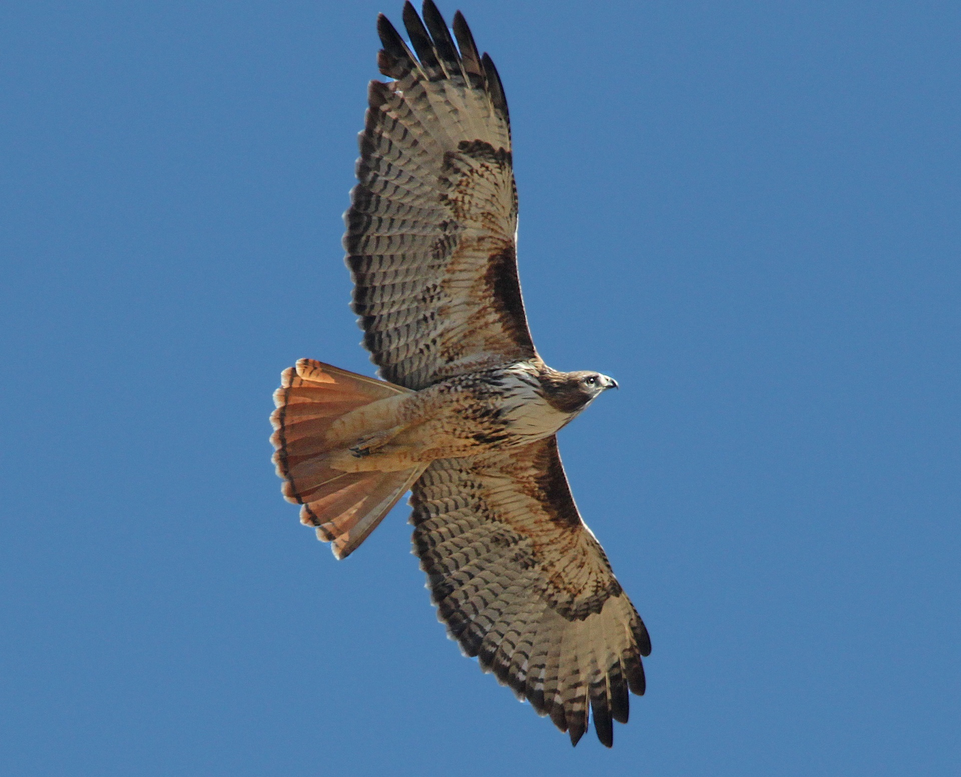 red-tailed-hawk-1712098.jpg