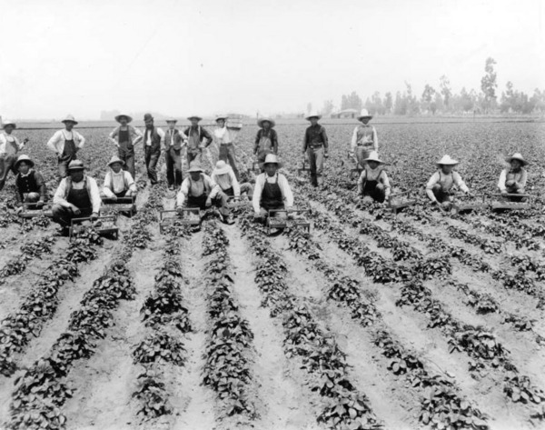 5. Farm workers on a Tropico strawberry field, ca. 1900