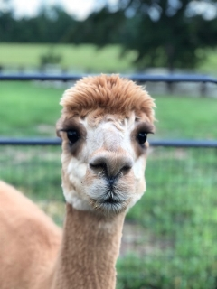 """EON Hadassah - Hadassah is a former AOBA national champion and the dam of Taylor. Hadassah's fiber is fine, soft, luxurious and has a great handle. Hadassah is the """"elder stateswoman"""" of our farm and is constantly keeping an eye out on our crias."""