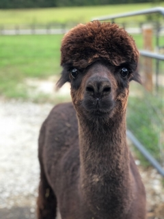 Saint Tropezde LaCroix - Saint Tropez, or as we call him at the farm, T-pain, is the first alpaca to step onto Shaw Farms. T-pain is from Pennsylvania and it took him a bit to adjust to things down here but he is doing great and glad to have so many new alpaca friends on the farm.
