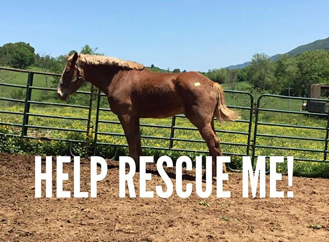 This guy still needs your help!  We're at $300 of our $975 goal to save this gentle giant from the kill pen!  If you can help, please go to https://www.paypal.me/shawalpacafarm to donate or spread the word!  #rescuehorse #drafthorses #newnanga #alpaca #horse #drafthorserescue