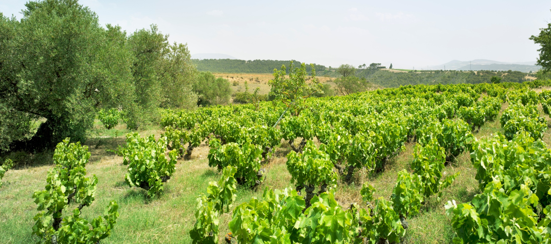 Bush vine Garnacha (Grenache) in the vineyards of Bodegas Artazu in Navarra.