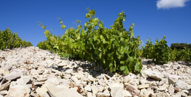 You can almost feel the heat radiated to the vines