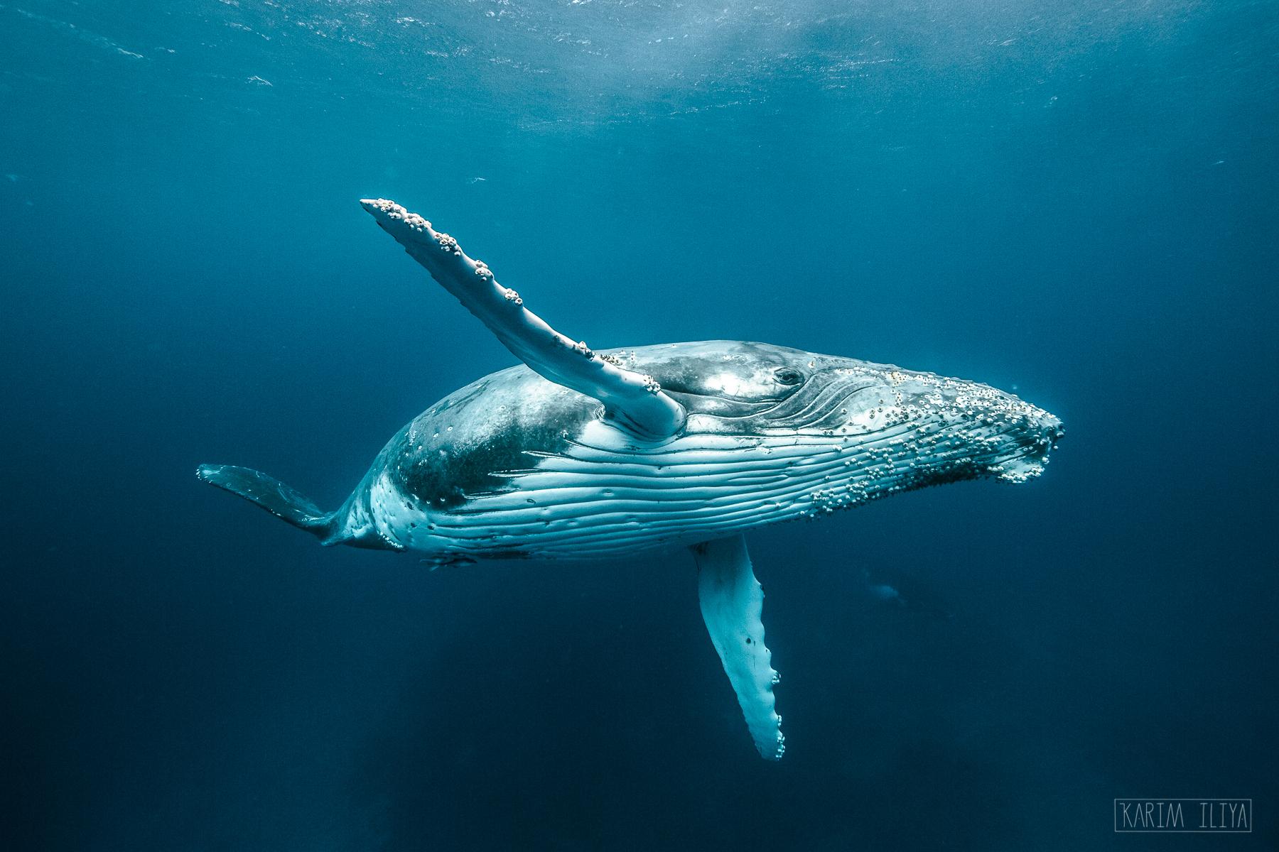 flying-underwater-baleen-humpback-snorkel.jpg