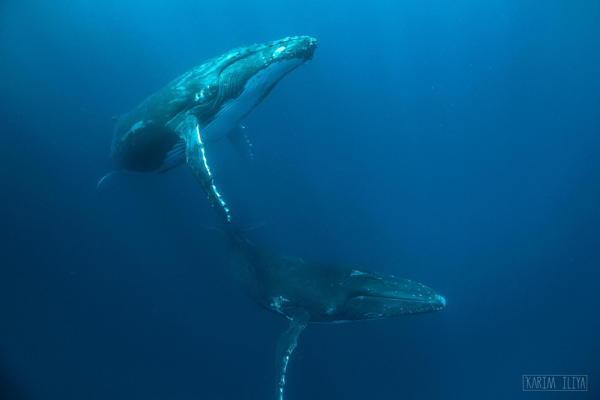humpback-whales-underwater-tonga-swimming.jpg