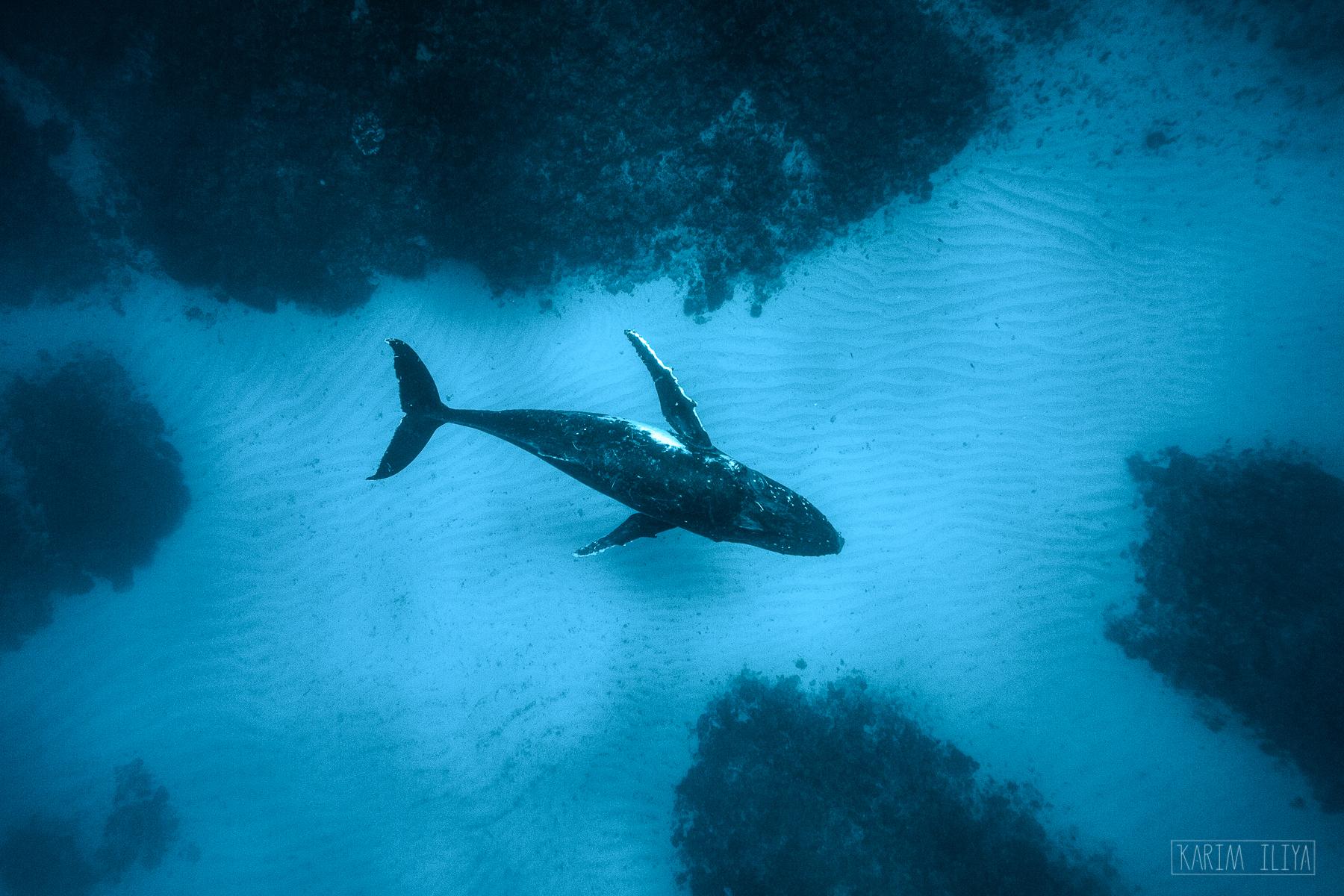snorkel-humpbacks-gentle-giants.jpg