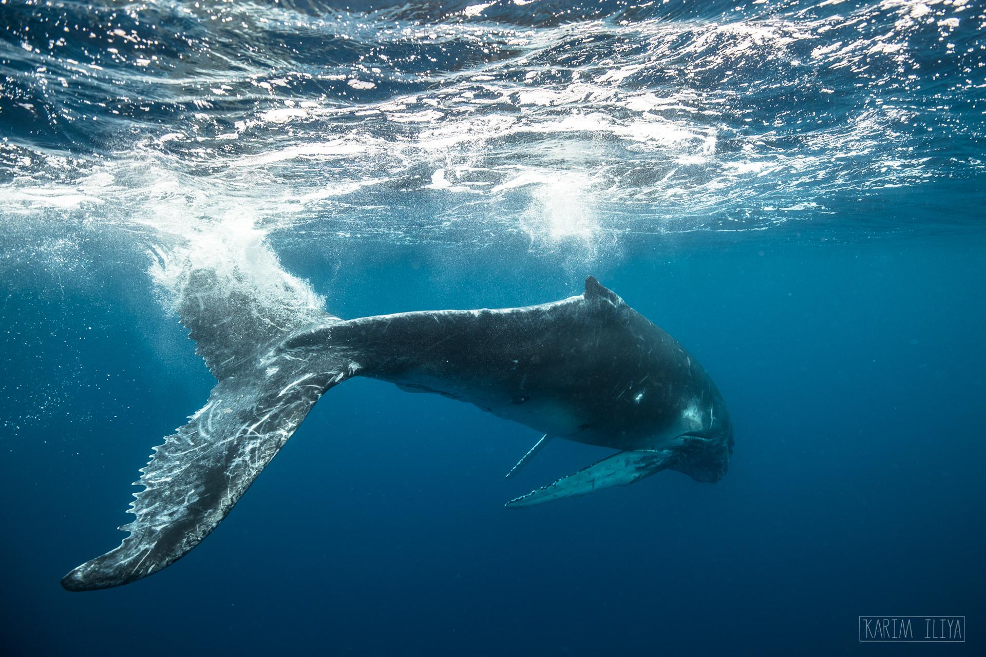swim-snorkel-dive-humpback-whale.jpg