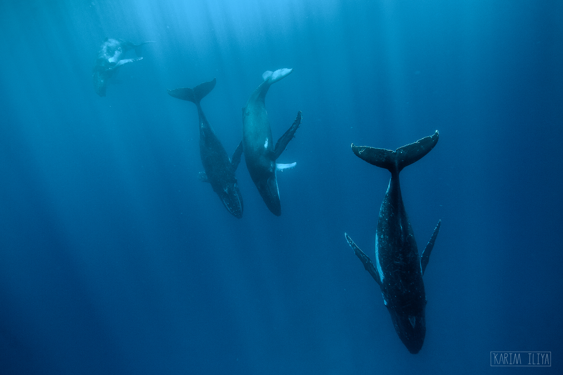 tonga-diving-dance-with-whales-vavau.jpg