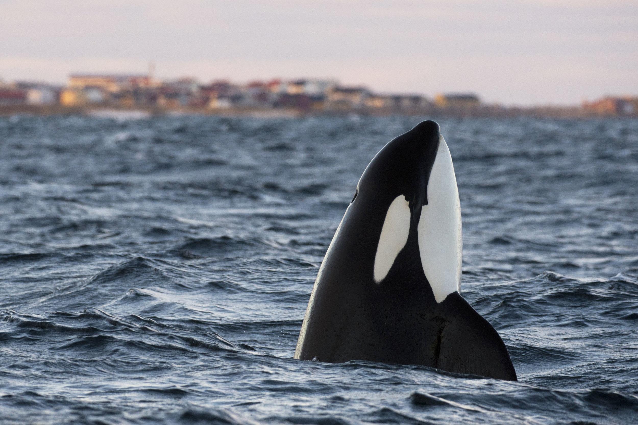 orca-lofoten.jpg