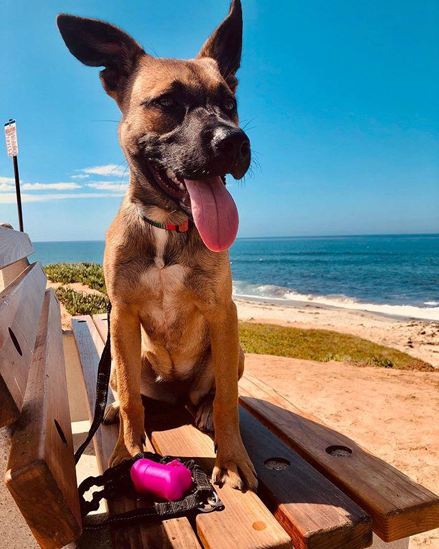 Out for a walk with one of my girls:) #puppypower #layla #shepardmix #germanshepherd #puppy #doglover #sandiego #california #secondchancedogrescue #rescuepup #dogdaysofsummer #schmoopuppy #windansea #lajolla