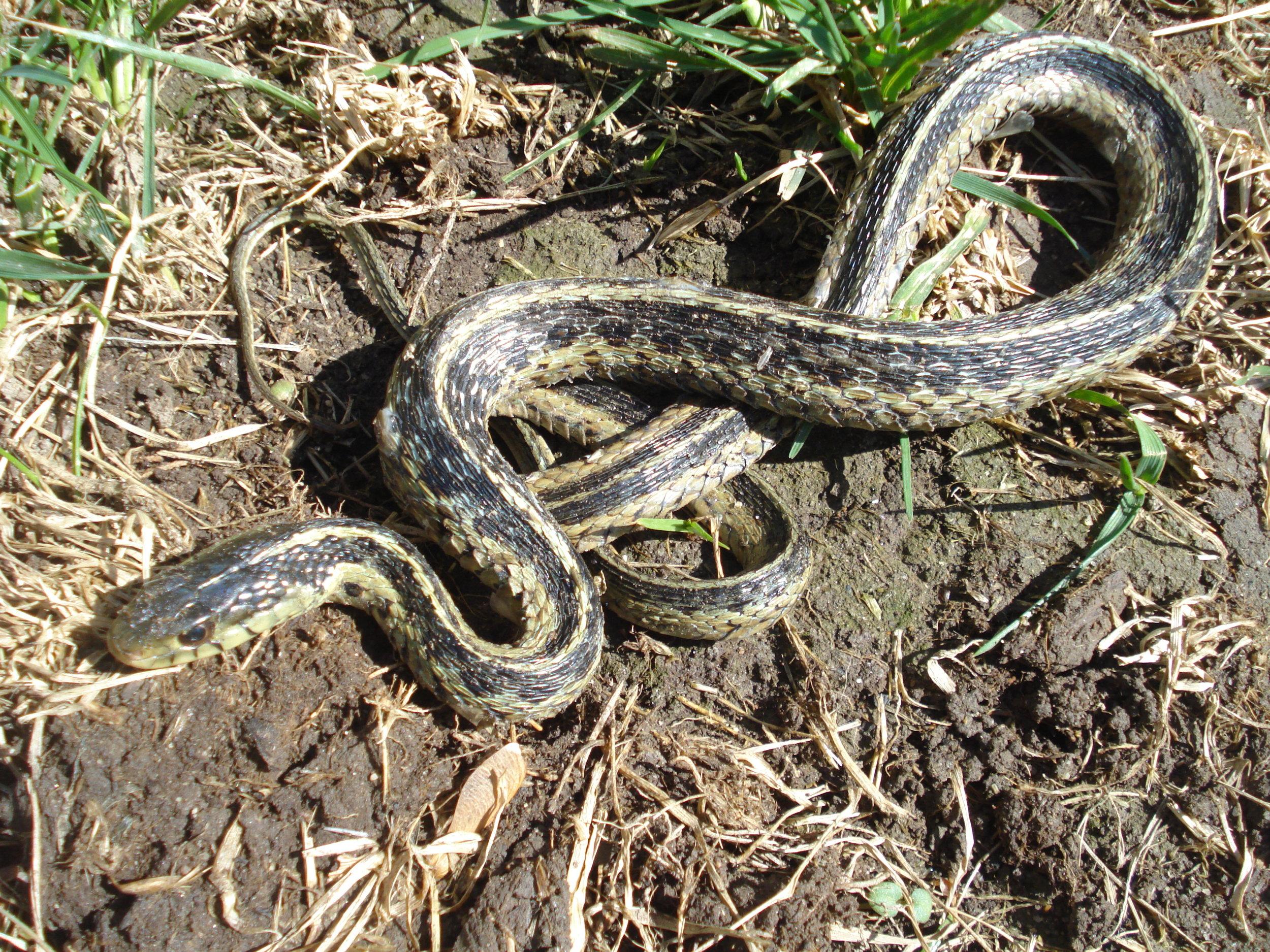garter_snake.JPG