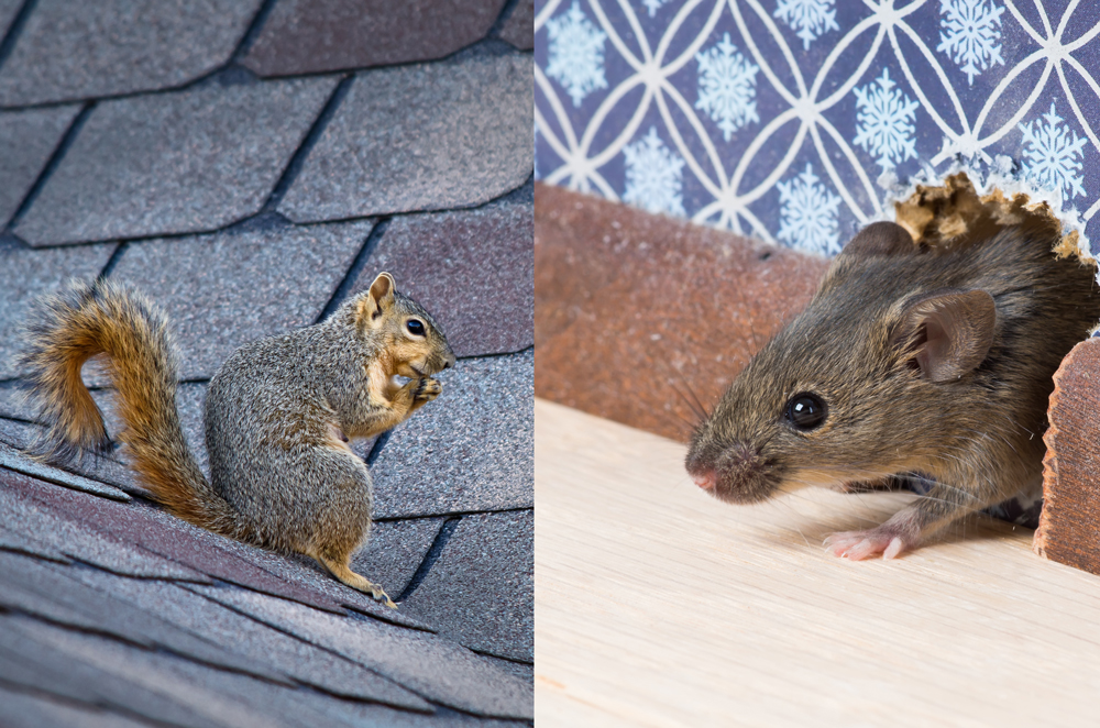 Squirrels and Rodents - Although they are cute, no one necessarily wants rodents and squirrels in and on their property. They can be very damaging to the inside of your walls, and of course they leave behind those abundant droppings in their path of destruction. At Urban Herpetologist, we use live traps to remove and dispose of them in a humane way. Call today if you have any kind of wildlife that you need us to handle. For a full list, click below.