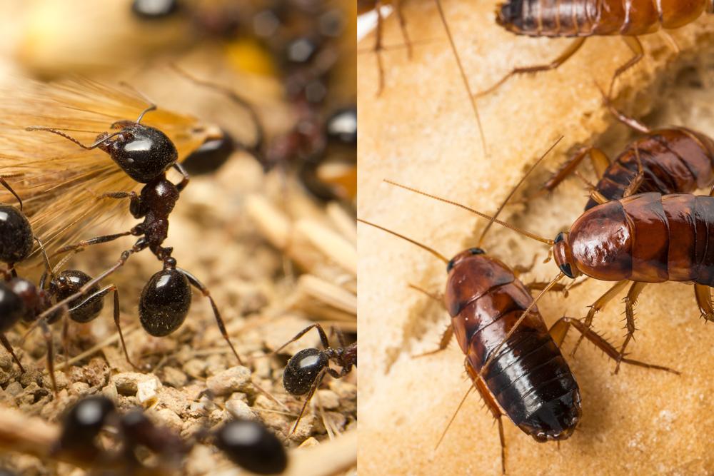 urban herpetologist pest contrtol Ants-and-roaches.jpg